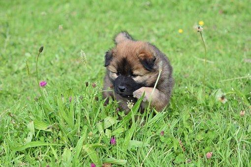 Dog, Puppy, Eurasier, Young Puppy, Eurasier Puppy