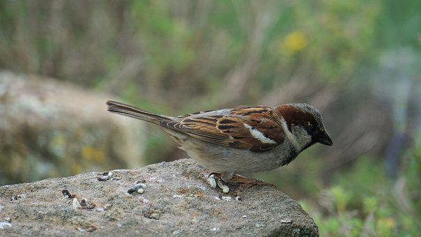 Sparrow, Sperling, Bird, Plumage, Animal, Feather