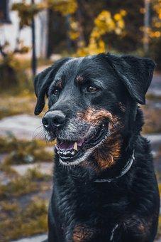 Dog, Portrait, Teeth, Ears, Animal, Pet, Brown, Head