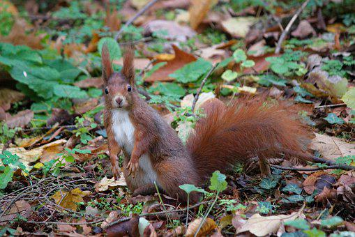The Squirrel, Standing, Curious, View, Rodent, Animal