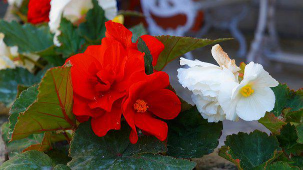 Garden, Nature, Plants, Flowers, Begonias, White, Red