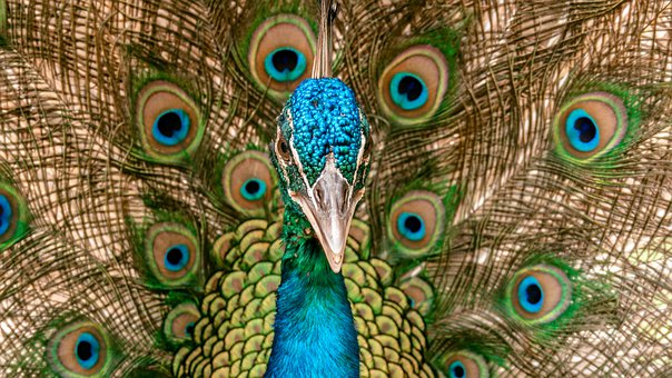 Peacock, Portrait, Animal, Head, Blue, Bird, Nature