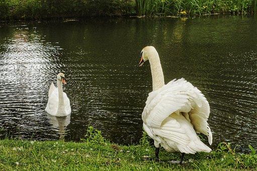 Swan, Swans, Nature, Laguna, White Swan, Birds, Look