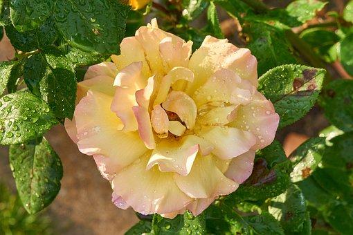 Rose, Blossom, Bloom, Yellow, Pink, Romance, Love