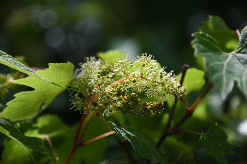 Vine, Grape, Unripe, New, Bud