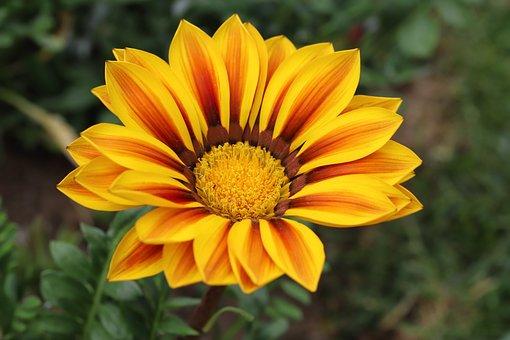 Chrysanthemum, Flowers, Plants, Asteraceae, Garden
