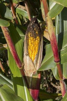 Corn, Maize, Agriculture, Food, Cornfield, Crop