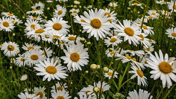 Flowers, Daisies, Marguerite Meadow, Flora, Nature