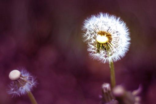 Dandelion, Sky, Flower, Nature, Seeds, Plant, Spring