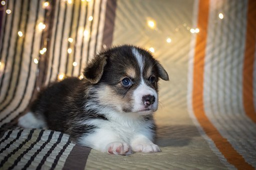 Puppy, Cute, Dog, Funny Ears, Eyes, Black And White