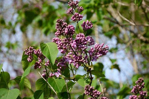 Lilac, Flowers, Bloom, Spring, Plant, Garden, Floral