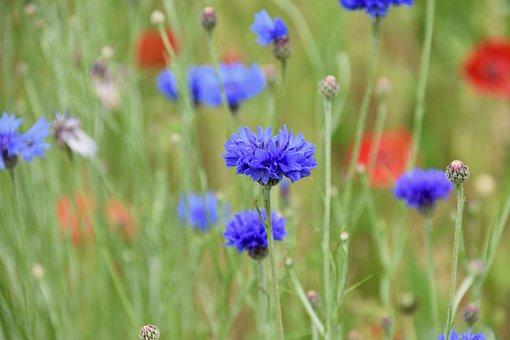 Flower, Blueberry, Flowers Field, Fleurs Des Champs