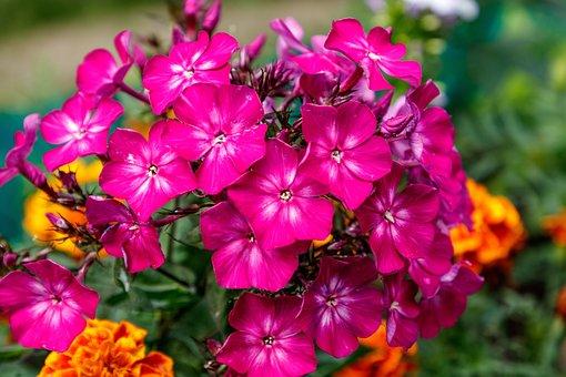 Phlox, Flower, Flower Garden, Petals, Nature, Summer