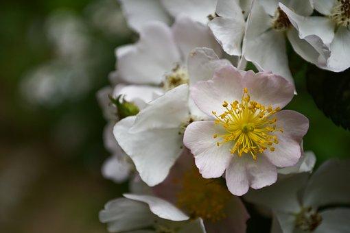 Pink, Rosebush, Flower, Plants, Garden, Romantic, Roses