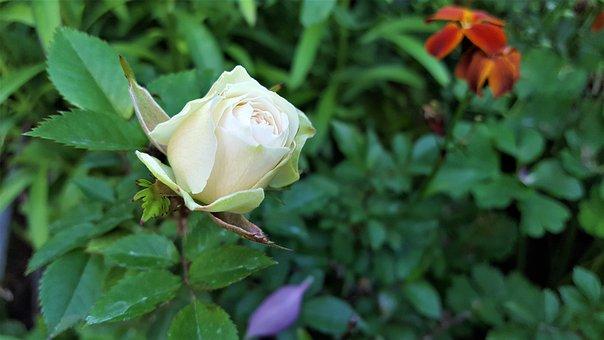Flower, Rose, šípová, Ker, White, Nature