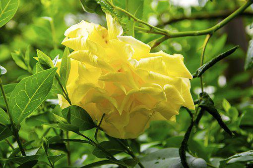 Yellow Rose, Rose, Flower, The Petals, Floral, Noble