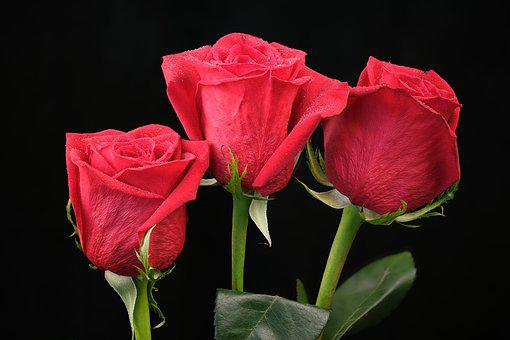 Flowers, Roses, Pink, Love, Red, Flora, Beautiful