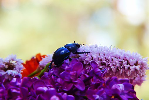 Forest Beetle, The Beetle, Flower, Garden, Insect