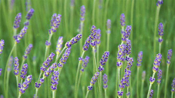 Lavender, Flowers, Purple, Violet, Fragrant, Bloom