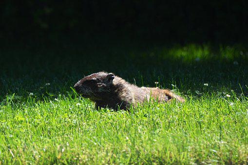 Groundhog, Nature, Animal, Fur, Rodent, Marmot, Cute
