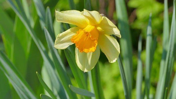 Narcissus, Flower, Spring, April, Clear, Plant, Garden
