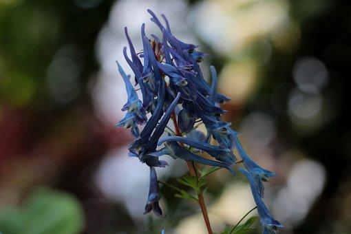 Corydalis Flexuosa Spinners, Helmbloem, Blue, Garden