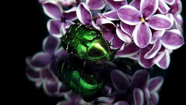 Rose Beetle, Gold Shiny Rose Beetle, Common Rose Beetle