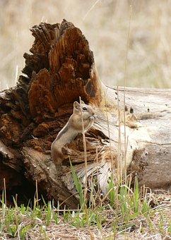 Ground Squirrel, Golden Mantle Squirrel