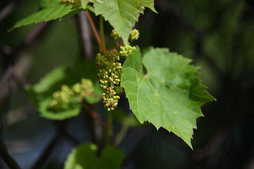 Vine, Grape, Unripe, New, Bud, Green News, Green New