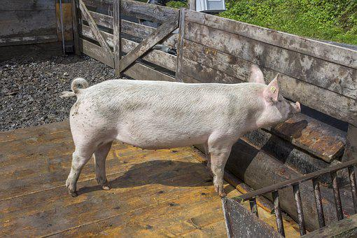 Pig, Swine, Hog, Pork, Farming, Domestic, Agriculture
