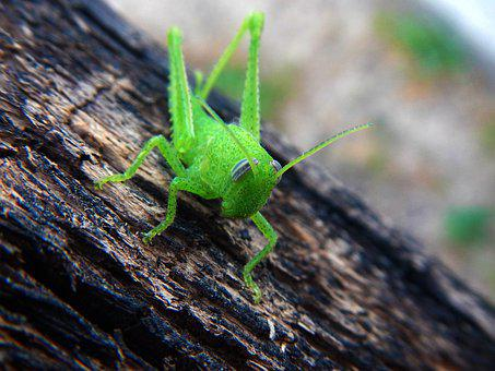 Grasshopper, Cricket, Insect, Green, Nature, Animals