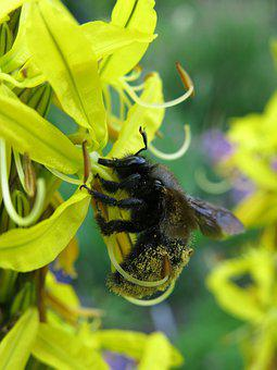 Junker Lily, Asphodeline Lutea, Carpenter Bee