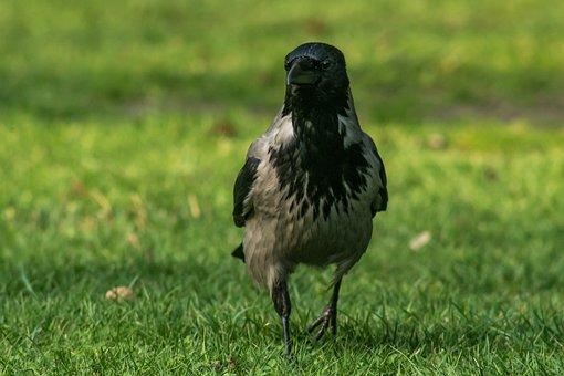 Crow Grey, Bird, Krukowate, Standing, Grass, Goes, Case