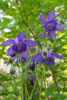 Columbine General, Flower, Purple, Macro, Nature