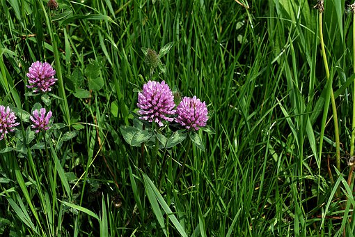 Red Clover, Flowers, Pointed Flower, Violet, Meadow