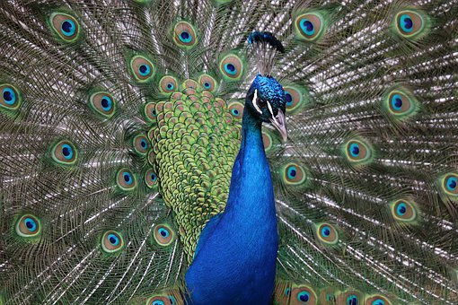 Peacock, Birds, Blue, Feathers, Plumage, Colorful