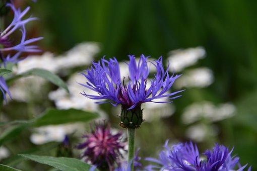 Cornflower Blue, Spring, Flowers, Garden, Perennial