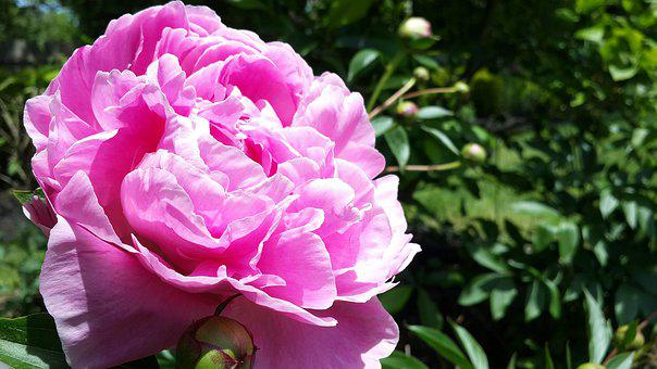 Perennials, Flowers, Full Blooming, Summer Flowers
