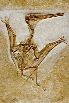 Fossil, Petrifaction, Bird, Skeleton, Dinosaur, Skull