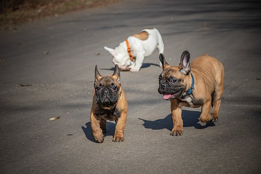 French Bulldog, Funny, Puppies, Ears, White, Pets