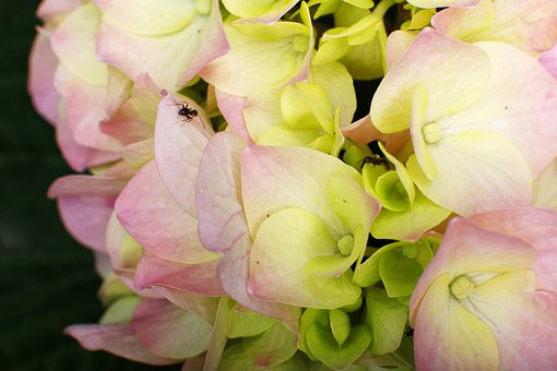 Azalea, Plant, Ant, Macro, Garden, Flower, Plants, Rosa