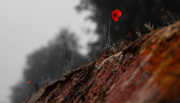 Poppy Flower, Poppy, Brick Wall, Red Poppy, Urban