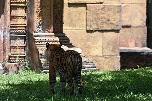 Tiger, Zoo, Stripes, Mammal, Predator, Africa, Wild