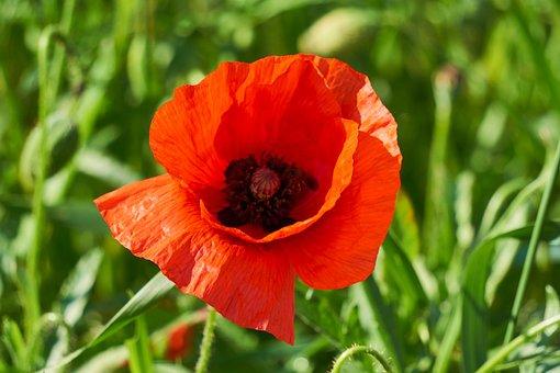 Klatschmohn, Plant, Flower, Red, Poppy, Blossom, Bloom