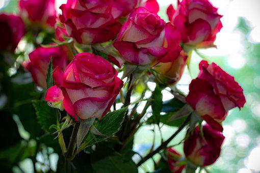 Roses, Flowers, Plant, Nature, Love, Red, Romantic
