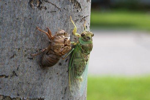 Cicada, Insect, Bug, Nature, Molt, Molting, Shedding