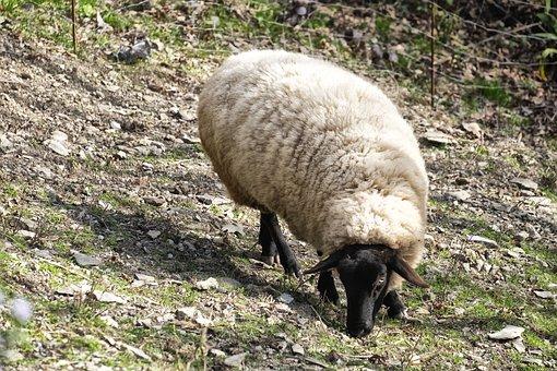 Sheep, Animal, Nature, Lamb, Livestock, Animals, Lana