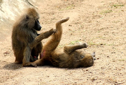 Monkeys, Monkey, Baboon, Fur, Animals, Sit