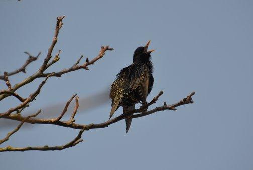 Bird, Star, Nature, Occurs, Songbird, Sitting, Spring
