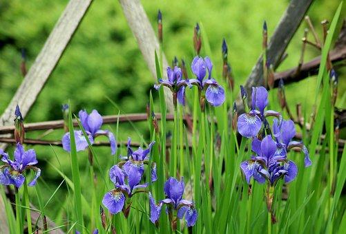 Irises, Flowers, Spring, Season, Rozkwitłe, Bar, Blue